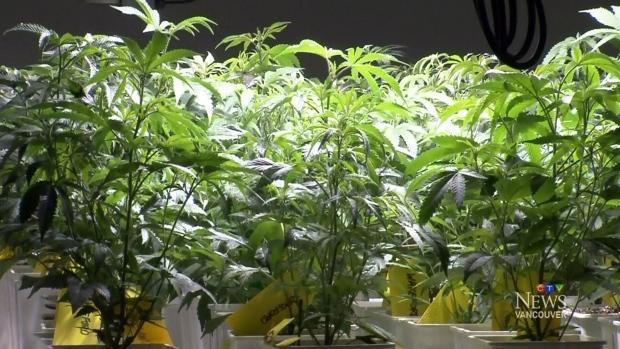 Medical marijuana business booming in B.C.