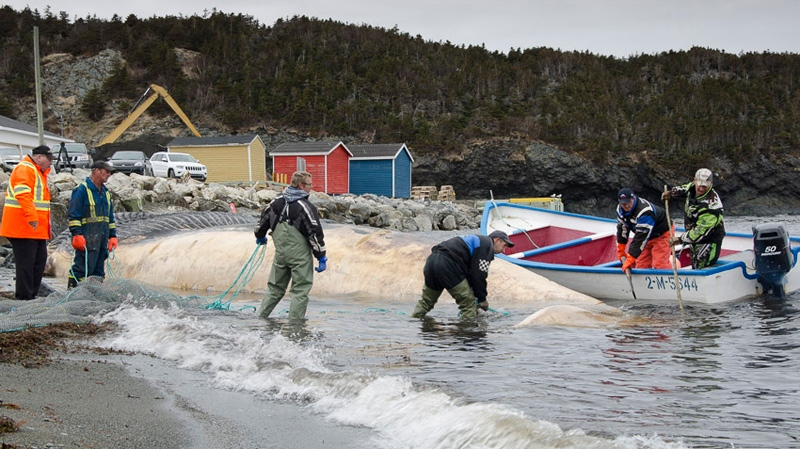 A team from the Royal Ontario Museum transported a beached blue whale away from Trout River, N.L. (Photos courtesy of Jacqueline Waters / Royal Ontario Museum)