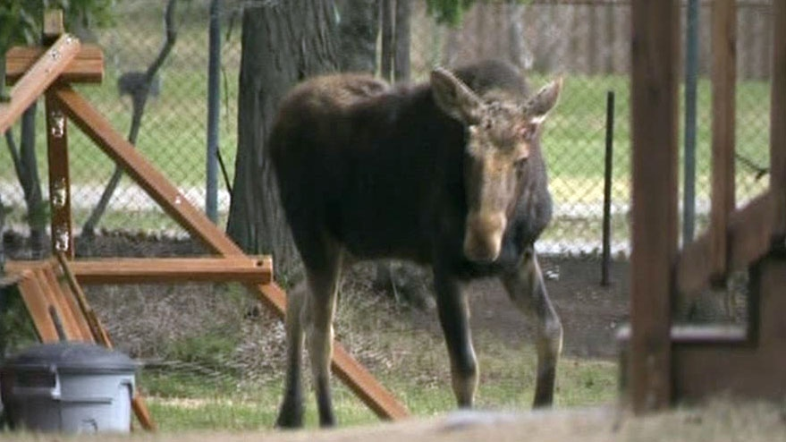 Moose on the loose tranquilized in Sudbury, Ont.