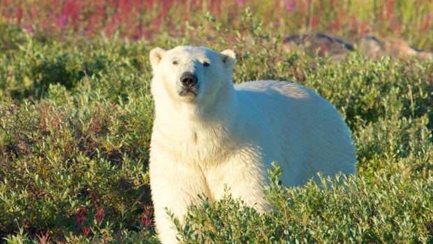 Polar bears genetics examined in new study