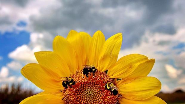Honey bees on a sunflower