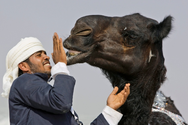 Man touches camel at festival in UAE