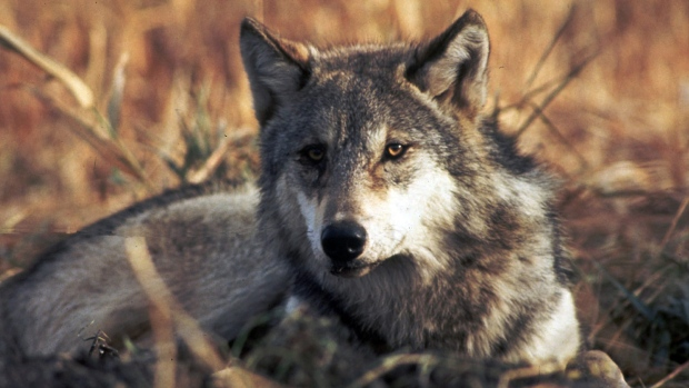 Grey wolf may have spawned with mate