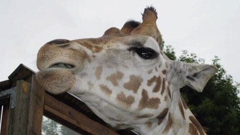 Amryn the giraffe died at the Greater Vancouver Zoo on Nov. 14, 2011. (CTV)