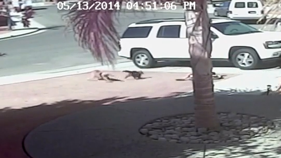 In this image from video posted to YouTube, a cat chases off a dog after it attacked a boy. (Roger Triantafilo / YouTube)