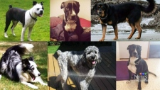 Composite image of dogs that had been reported stolen from a Langley, B.C. dog-walker's truck.