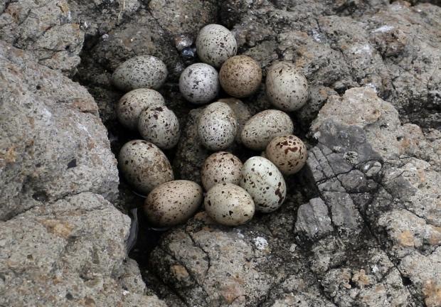Tern eggs