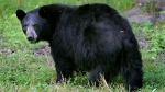 A black bear is seen in Lyme, N.H.. on Wed., Aug. 1, 2007 (AP / Cheryl Senter)
