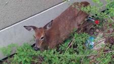 Deer runs across Gardiner Expressway