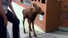 CTV News Channel: Baby moose found
