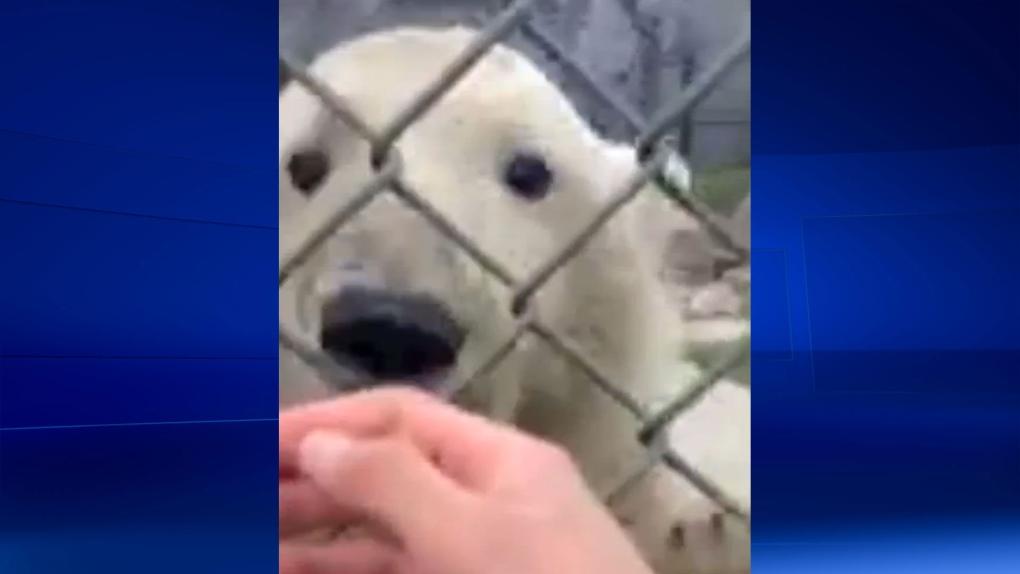 Toronto Zoo investigating polar bear selfie