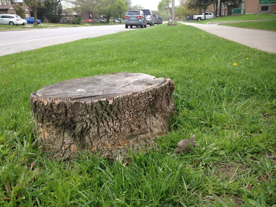 The stump of a tree infected by the emerald ash borer is seen on Pioneer Drive in Kitchener on Friday, May 23, 2014. (Nadia Matos / CTV Kitchener)