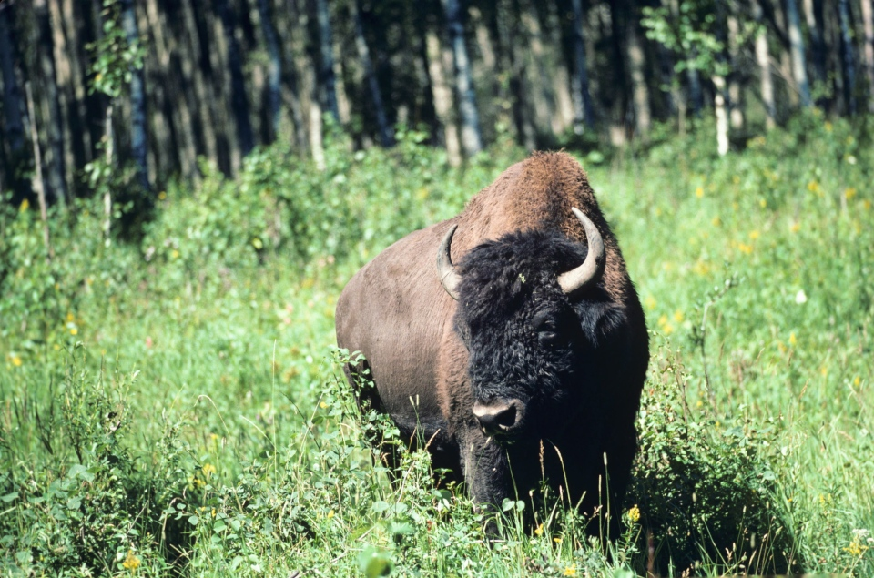 A wood bison is shown in this undated photo from Parks Canada. (The Canadian Press/HO, Parks Canada - Barrett & MacKay)