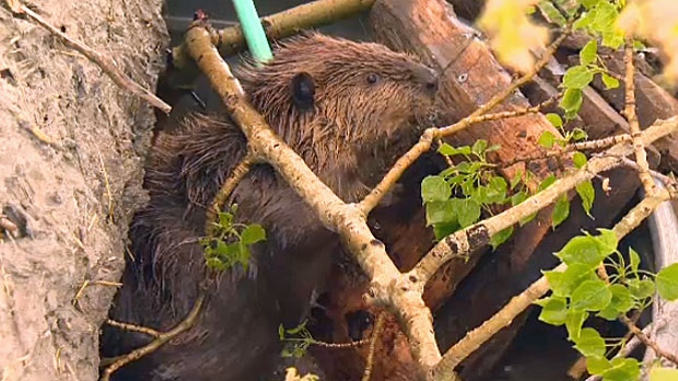 beavers, calgary floods, Bow River, wildlife rescu