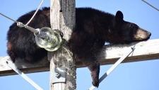 SaskPower crews snapped several photos last week of a bear that had scurried up a power pole near Shellbrook, Sask. The bear was napping at the top of the pole. (SaskPower)