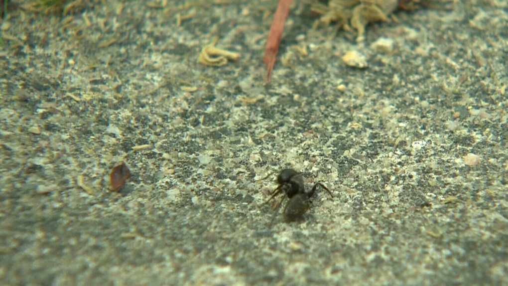 Why You May Be Dealing With More Ants This Spring Ctv News