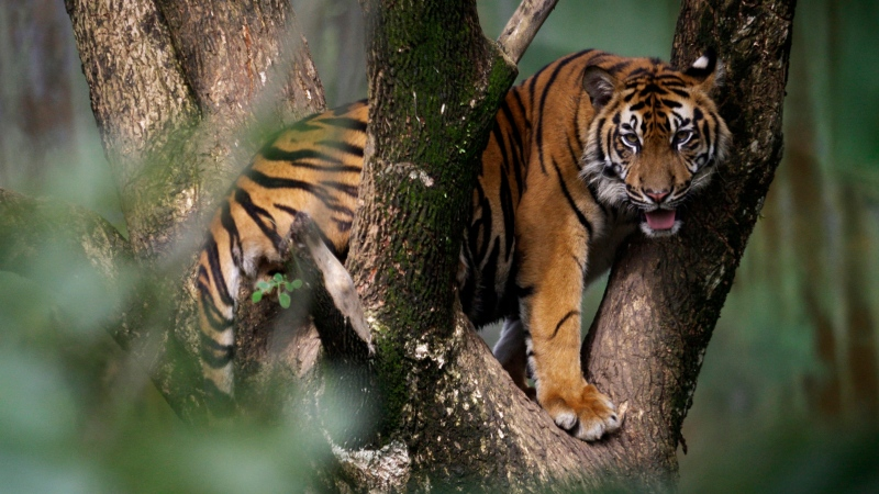 A Sumatran tiger stands on a tree at a zoo in Medan, North Sumatra, Indonesia on Tuesday, Nov. 13, 2012. (AP / Binsar Bakkara)