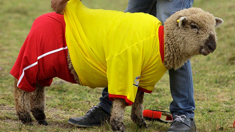 A shepherd dresses one of his sheep in a Colombia national soccer team jersey before a Colombia vs. Brazil soccer sheep match in Nobsa, Colombia, Sunday, June 1, 2014. (AP Photo/Javier Galeano)