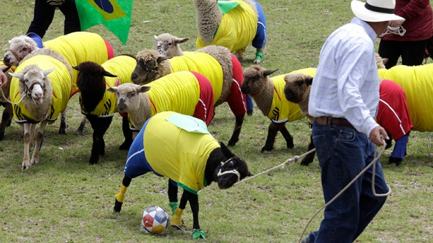 Sheep playing soccer in Colombia