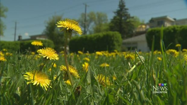 CTV Edmonton: Dandelions taking over