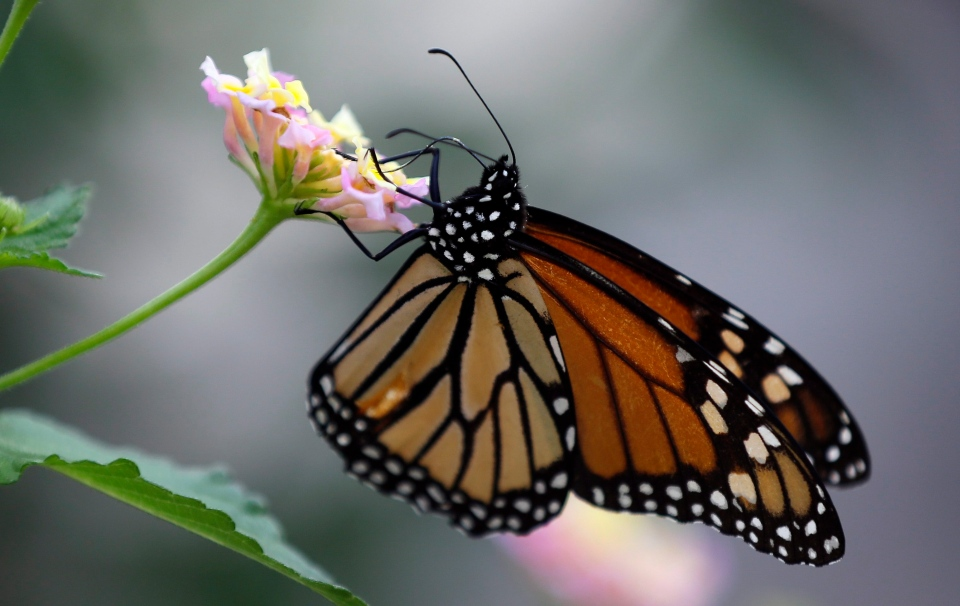 A monarch butterfly lands on a confetti lantana plant in San Antonio, Oct. 21, 2013. (AP / Eric Gay)