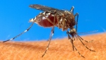 In this undated file photo provided by the USDA, an aedes aegypti mosquito is shown on human skin. (AP / USDA)