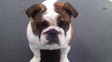 Surrey RCMP say Samson the bulldog was stolen from its family's backyard in Coquitlam. (Handout)