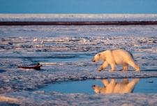 Polar bear neck cam