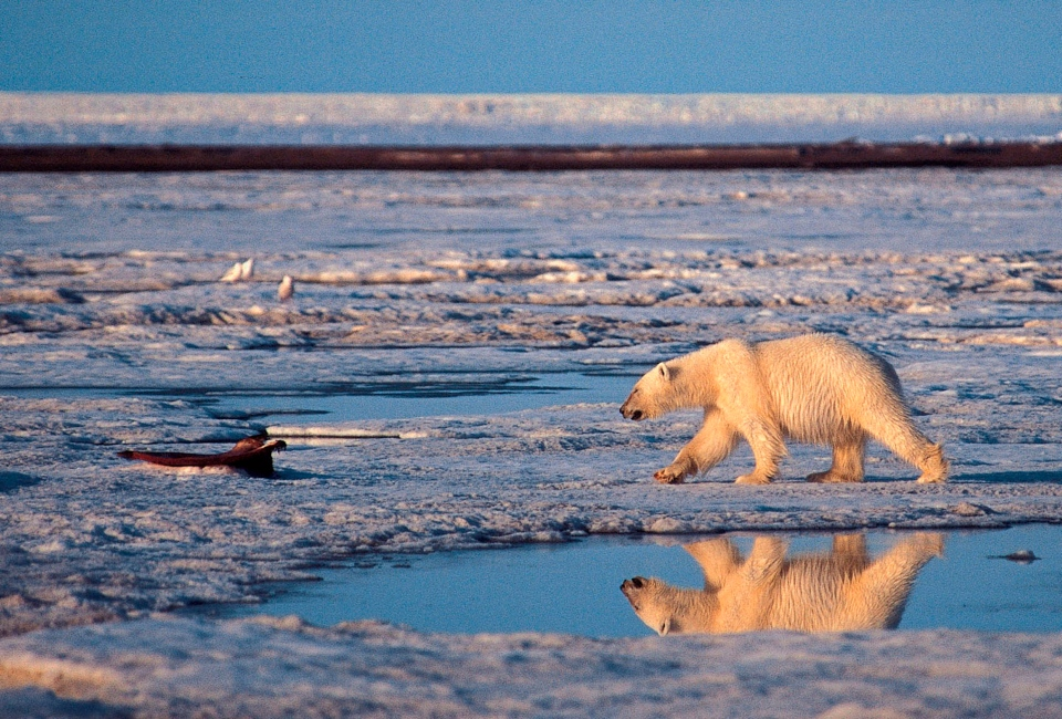 In this undated handout photo of a polar bear taken in the Arctic National Wildlife Refuge. More than two-thirds of the world's polar bears will be killed off by 2050 - the species completely gone from Alaska - because of thinning sea ice from global warming in the Arctic, government scientists forecast Friday. (AP / Subhankar Banerjee, File)