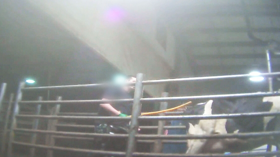One of Canada's largest dairy farms faces serious allegations of animal abuse.