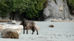 FILE PHOTO: A coastal B.C. wolf, part of a research project, is shown in a handout photo. (HO-Chris Darimont/The Canadian Press)
