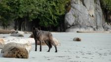 A coastal B.C. wolf