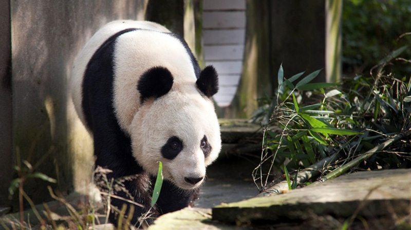 This undated photo issued Monday Nov. 28, 2011, showing the giant panda Tian Tian in Sichuan Province, China. (AP Photo/ David Fu, The Royal Zoological Society of Scotland)