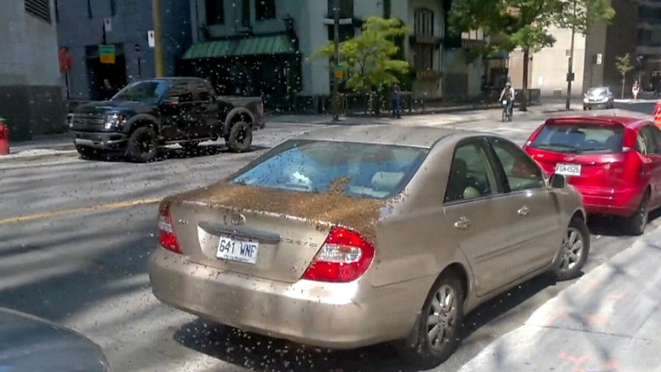 Mike Cohen's parked car was taken over by a colony of bees, Monday, June 9, 2014.
