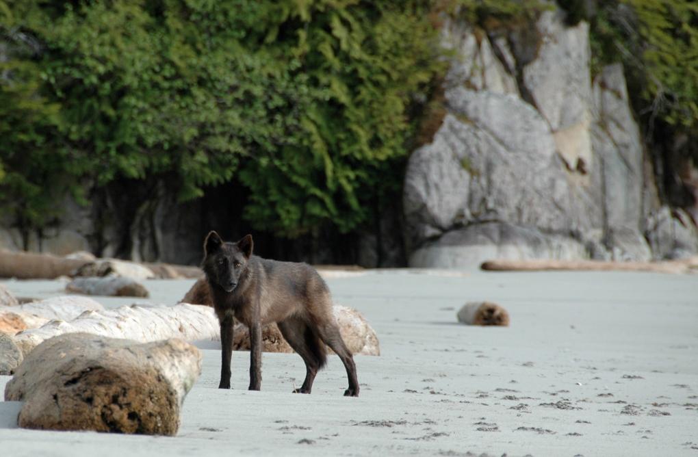 laid-back wolf