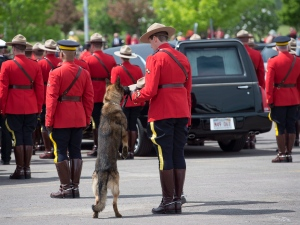 RCMP police dog Danny sniffs the Stetson of his partner, slain Const. David Ross, during the funeral procession for the three RCMP officers who were killed in the line of duty, in Moncton, N.B., Tuesday, June 10, 2014. (Andrew Vaughan / THE CANADIAN PRESS)
