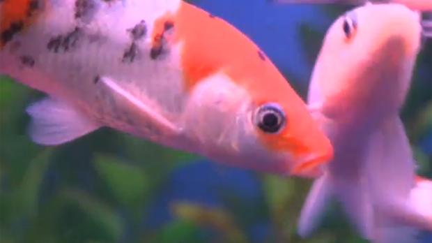 Pond fish in an aquarium at Big Al's Pet Superstore