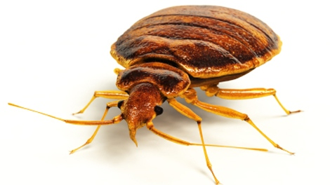 Bed bug, bed bugs, bedbugs, bedbugs