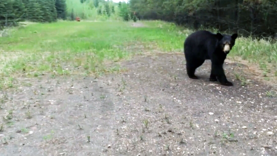 Two joggers recorded their encounter with a black bear in Fort McMurray, Alberta.