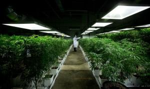 MediJean cannabis plant care technician Misad Shazi sprays water on marijuana plants growing at the medical marijuana facility in Richmond, B.C., on Friday March 21, 2014. (Darryl Dyck/The Canadian Press)