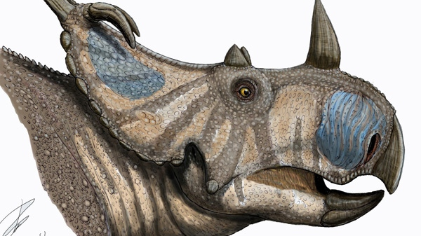 Artist's rendering of the skull bones of Spinops sternbergorum. A team of international scientists says a newly rediscovered dinosaur species once roamed the planes of southern Alberta. (Lukas Panzarin / THE CANADIAN PRESS)