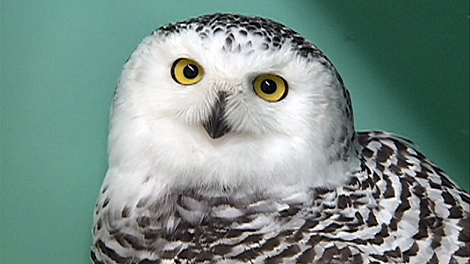 The young hatchling was treated for a broken wing and a fractured clavicle. Staff at the clinic named the owl Noelle.