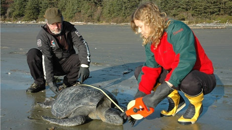 The third green sea turtle in two weeks to come into the care of the Vancouver Aquarium does not have a heartbeat but hope is not lost. Dec. 9, 2011. (CTV)Officials examine the condition of another green sea turtle found stranded on the shores. Dec. 9, 2011. (CTV)
