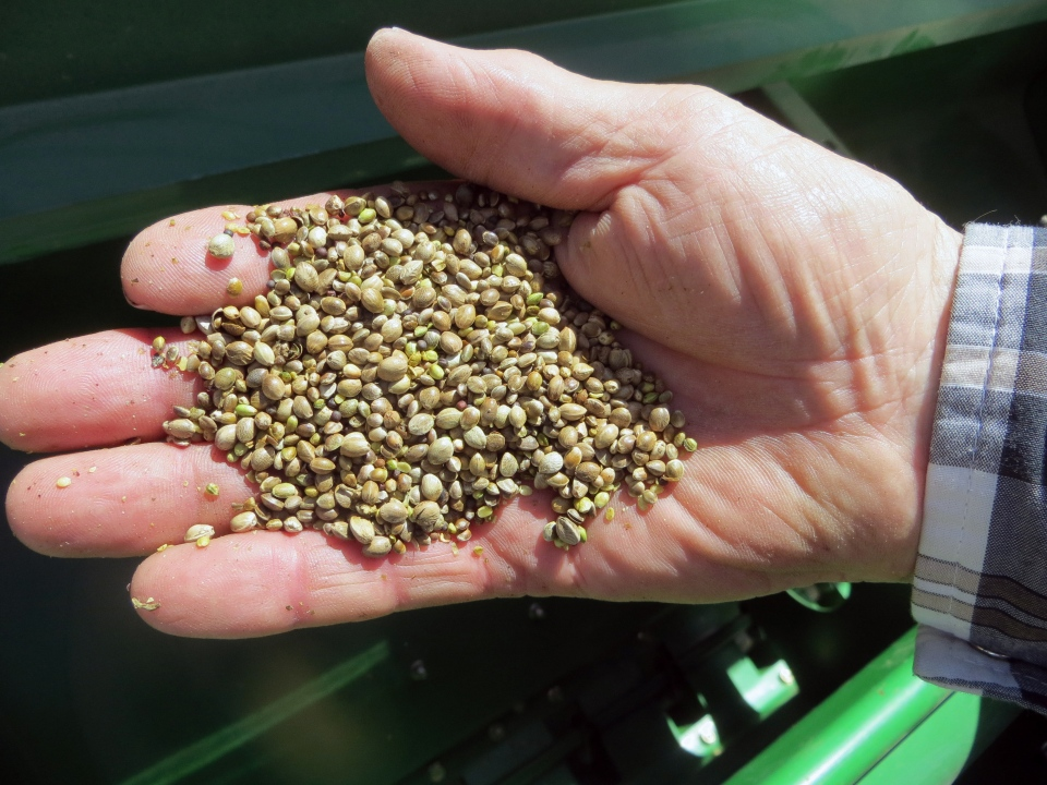 A farmer holds a handful of hemp seeds, on a day of planting in Sterling, Colo., May 19, 2014. (AP / Kristen Wyatt)