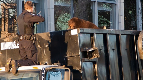 An officer aims a tranquillizer gun at a black bear perched on top of a garbage truck in downtown Vancouver. Dec. 12, 2011. (Vancouver Public Library)
