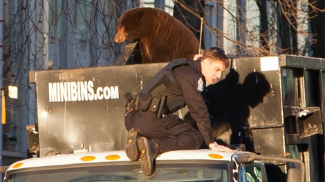 A black bear perches on top of a garbage truck in downtown Vancouver. Dec. 12, 2011. (Vancouver Public Library)