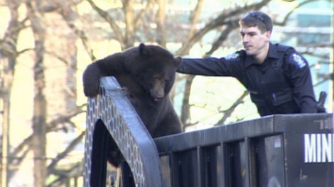 A Vancouver police officer reaches out to the black bear and coaxes it down from the garbage truck. Dec. 12, 2011. (CTV)