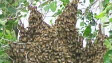 Thousands of bees swarm Montreal neighbourhood