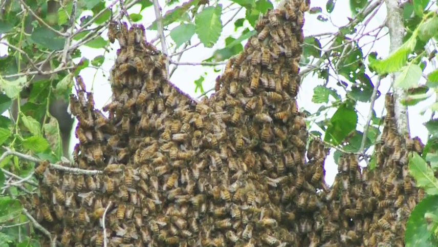 An estimated 30,000 bees have swarmed a home in Lachine, Quebec on Tuesday, June 24, 2014.