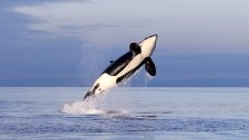 Orca's among most contaminated mammals: research